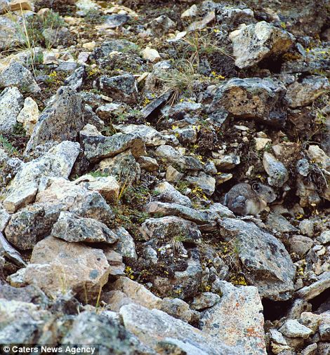 An American Pika performing a vanishing act in the Cascade Range of Washington