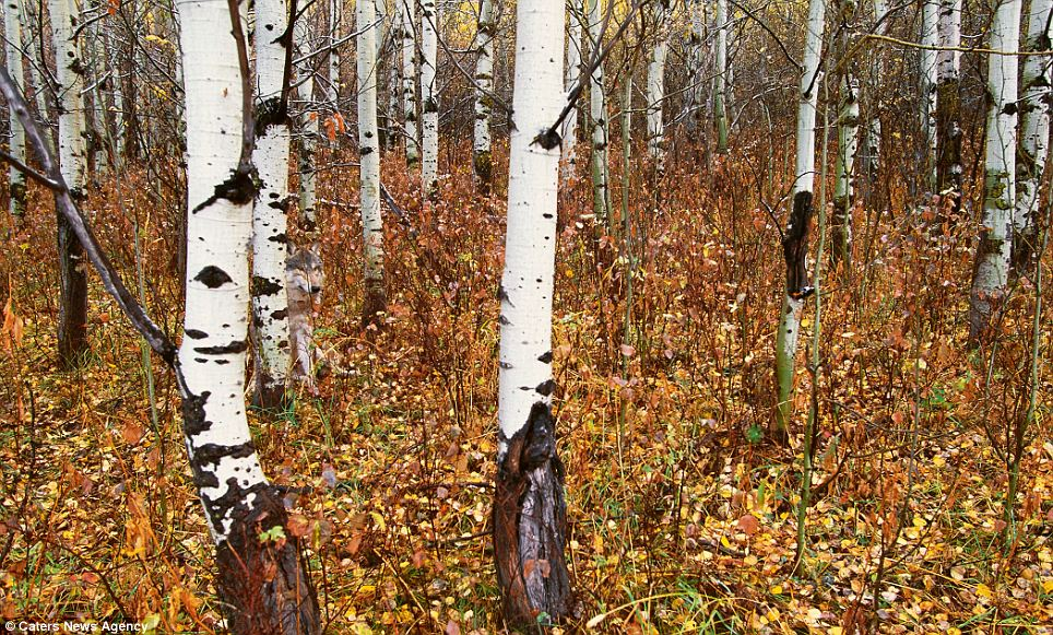 Can't see the wolf from the trees: A wolf peering out from behind a tree trunk in an autumn Montana forest